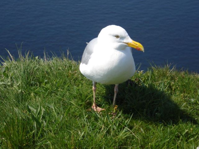 Vogel auf Helgoland