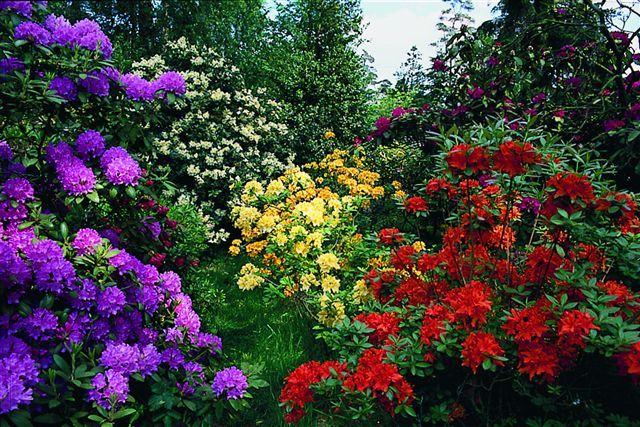 Rhodo Westerstede Blütenmeer